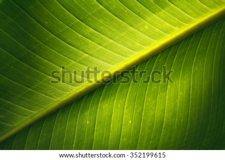 Banana leaf texture or Banana leaf background for design with copy space for text or image. - stock photo