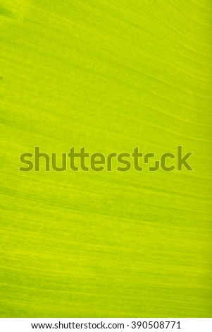 Banana leaf with clear lines - stock photo