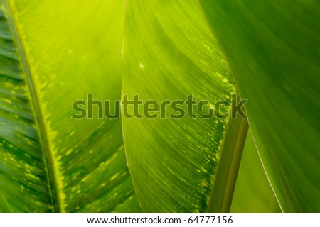 Banana leaf with shallow depth of field - stock photo