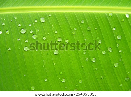 Banana leaf with water drops - stock photo