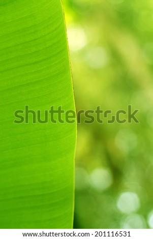 Banana leave. - stock photo