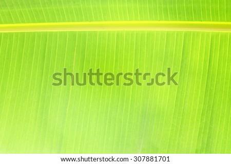 Banana leaves - stock photo