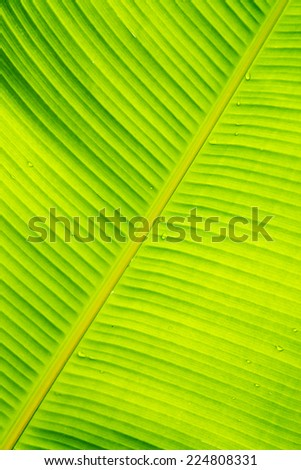 Banana leaves and water drop background. - stock photo