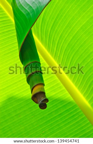 Banana leaves for insect nests - stock photo