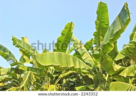 Banana leaves from a plantation in Thailand - stock photo