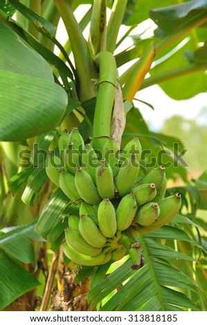 banana on the banana tree