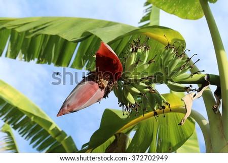 banana on tree - stock photo
