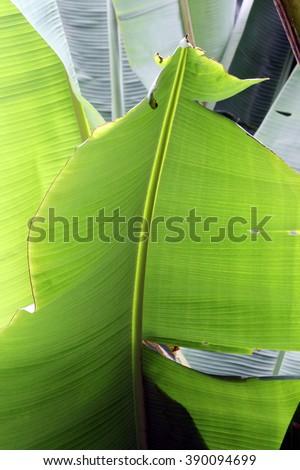 banana palm tree green leaf background, pattern  - stock photo