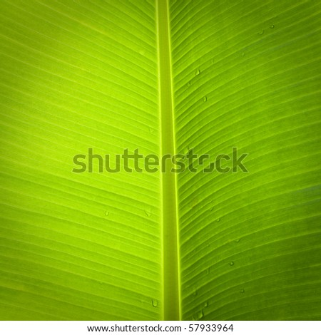 banana palm tree green leaf close-up background - stock photo