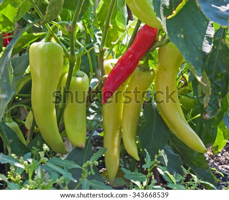 Banana pepper plant with red and green peppers - stock photo