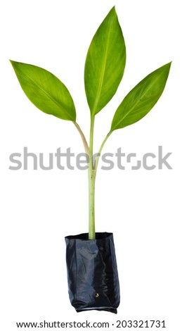 Banana plant in the plastic bag on white background - stock photo