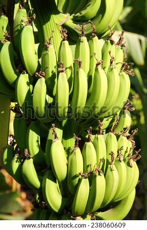 Banana plantation in sun - egypt - stock photo