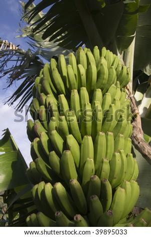 Banana plantation on the Canary Islands - stock photo
