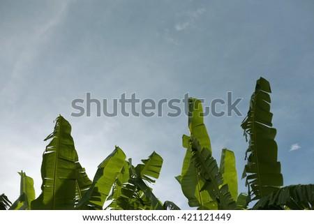 Banana tree on blue sky background - stock photo