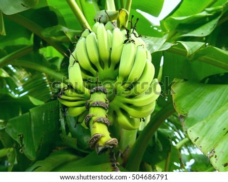 banana tree,out of focus