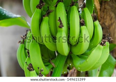 Banana tree with a bunch bananas green bananas aren't ripe - stock photo