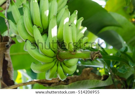 Banana tree with a bunch growing in a tropical forest one of the famous tropical fruit in the world.