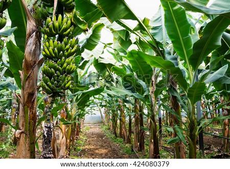 Banana tree with a bunch of growing bananas, Alanya, Turkey - stock photo