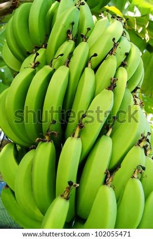 Bananas hanging on tree - stock photo