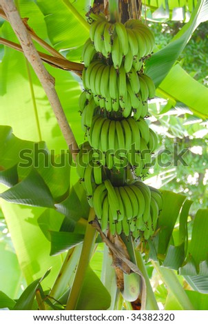 bananas in the tree