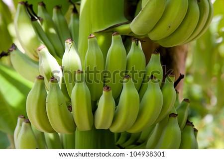 Bananas on a tree, Thailand. - stock photo