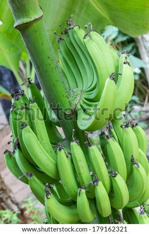 Bananas on the tree - stock photo