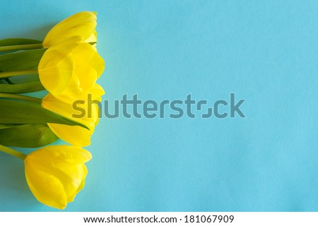 Banch of Yellow tulips lying on blue paper background - stock photo
