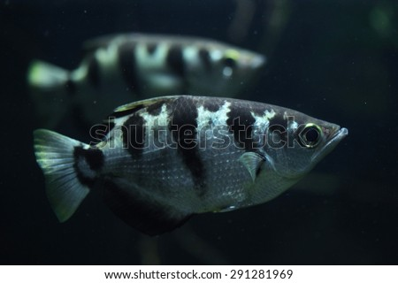 Banded archerfish (Toxotes jaculatrix), also known as the spinner fish. Wildlife animal.  - stock photo