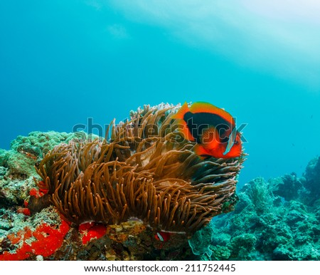 Banded Clownfish in a host anemone on a murky, tropical coral reef - stock photo