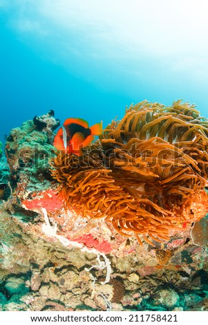 Banded Clownfish in an anemone on a murky, tropical coral reef - stock photo
