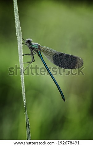 Banded demoiselle carrying a heavy load - stock photo