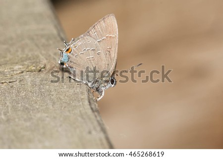 Banded Hairstreak Butterfly perched on a wooden fence rail.