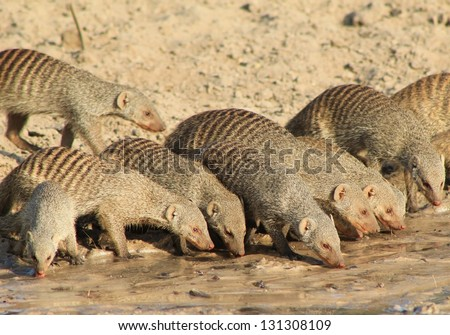 Banded Mongoose - African Mammals - Band of Banded Brothers drinking water with their close-knit family unit.  Photo taken on a game ranch in Namibia. - stock photo