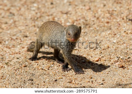 Banded mongoose baby walk alone over hot sand - stock photo