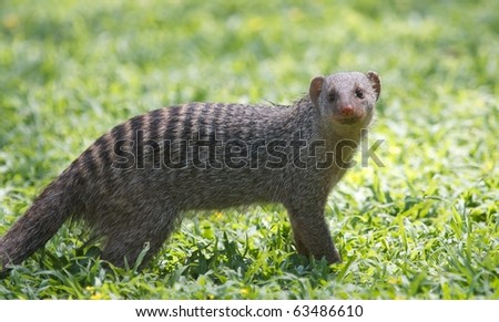 Banded Mongoose on a lawn - stock photo