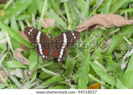 Banded Peacock Butterfly on grass - Anartia fatima in Costa Rica - stock photo
