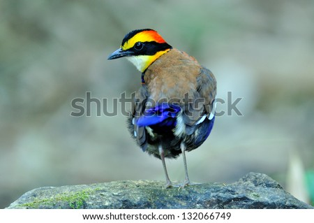 Banded pitta is acting as a star in the morning with pop up hair do, bird, pitta guajana