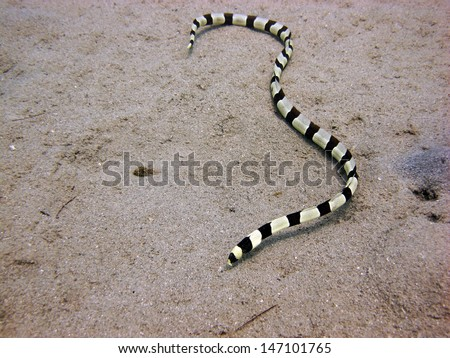Banded snake eel on the sand - stock photo