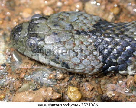 Banded South American water snake Helicops angulatus - stock photo