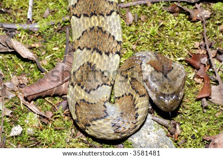 Banded South American water snake (Helicops angulatus) - stock photo