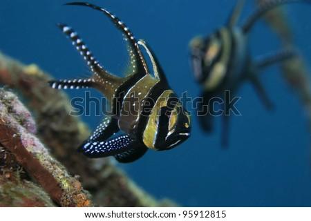 Banggai cardinalfish in the tropical waters of indonesia - stock photo