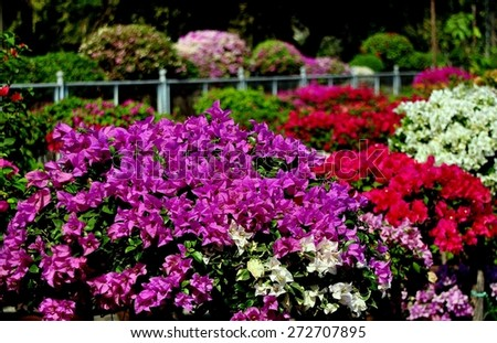 Bangkok, Thailand - January 7, 2013:  Colorful Bougainvillea flowers in shades of lavender, red, and white fill the garden nursery in Lumphini Park - stock photo