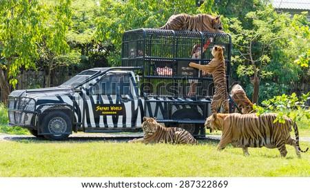 Bangkok, THAILAND - MARCH 31: Feeding of tigers at Safari World zoo in Bangkok, Thailand, on March 31, 2015.  - stock photo