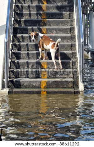 BANGKOK, THAILAND -NOVEMBER 9: A dog on steps after heavy flooding from monsoon rain in Ayutthaya and north Thailand arriving in Bangkok on NOVEMBER 9, 2011 in Bangkok, Thailand. - stock photo