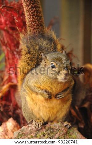Bangs's Mountain Squirrel, Poàs Volcano National Park, Costa Rica - stock photo