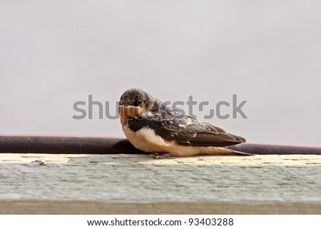 Bank Swallow resting on bridge plank - stock photo