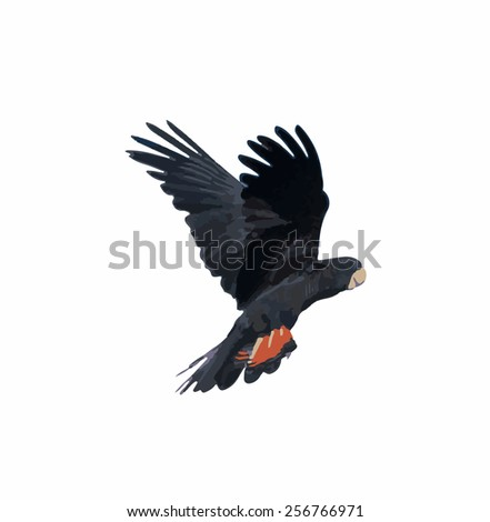 Banks' Black Cockatoo (Red-Tailed Cockatoo) in flight - stock photo
