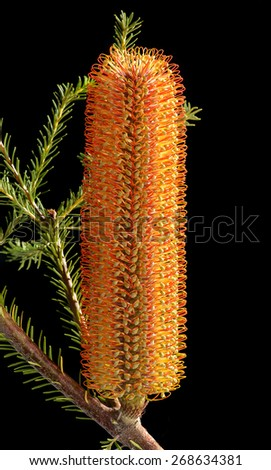Banksia ericifolia (Heath Banksia) flower with branches and leaves isolated on black - stock photo