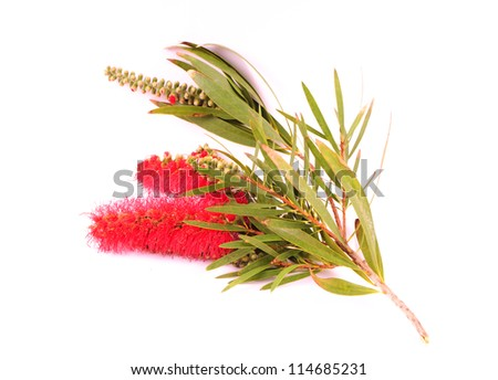 Banksia (Proteaceae) on white background. Australian native flower. - stock photo