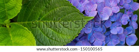 Banner of a blue Hortensia flower with leaves - stock photo